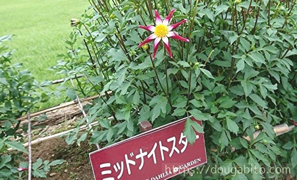 2019山形県「やまがた川西ダリヤ園」花の見頃はいつ?ソフトクリームも食べてみた!ダリア